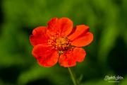 23rd Jun 2019 - Red flower