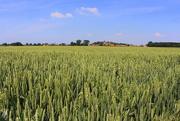 23rd Jun 2019 - Wheat.