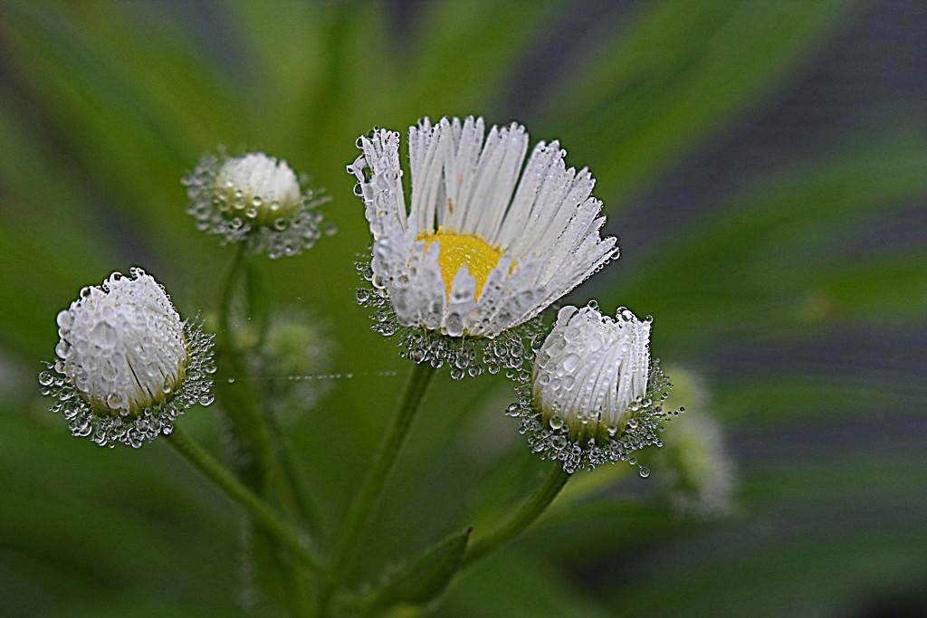 Dew on the Daisies by genealogygenie