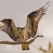 Osprey Mom, Returning to the Nest! by rickster549