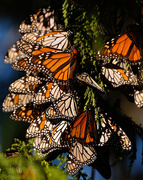 24th Jun 2019 - Over wintering monarch butterflies