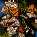 Over wintering monarch butterflies