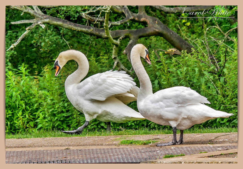 He's Spotted A Dog,While His Mate Looks Back At The Cygnets by carolmw