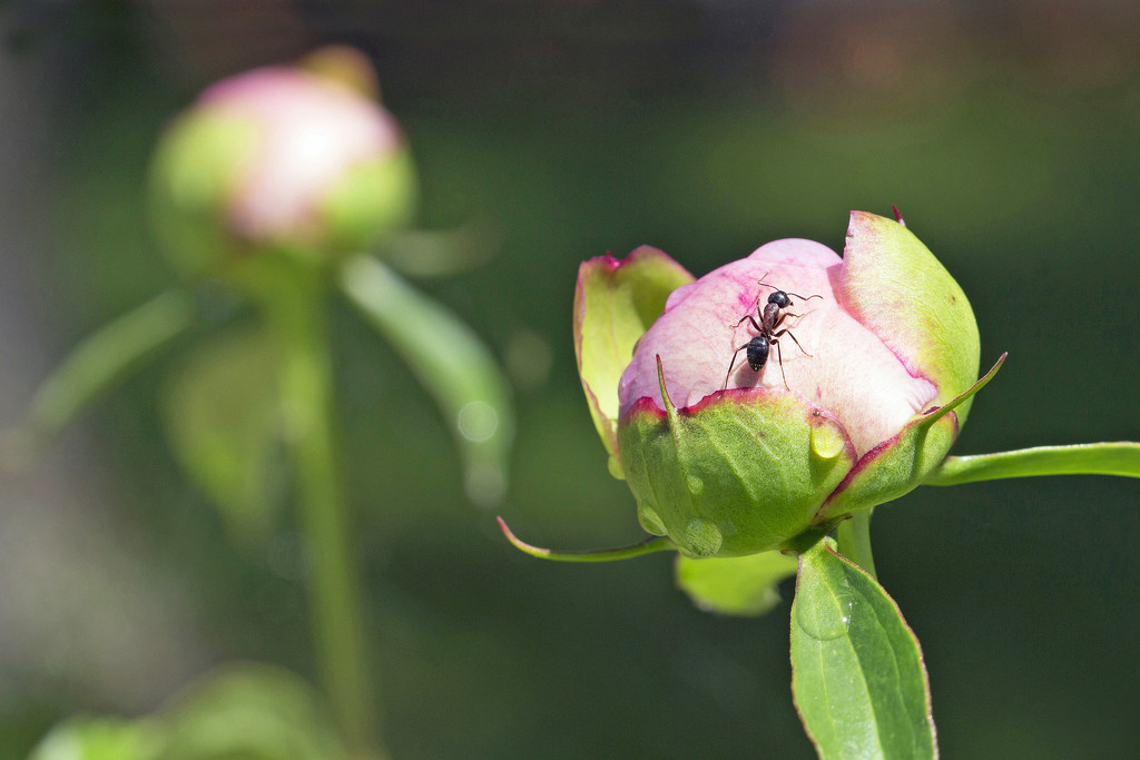 Peony Bud with Visitor by gaylewood