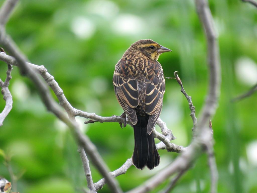 Sweet Song Sparrow by seattlite