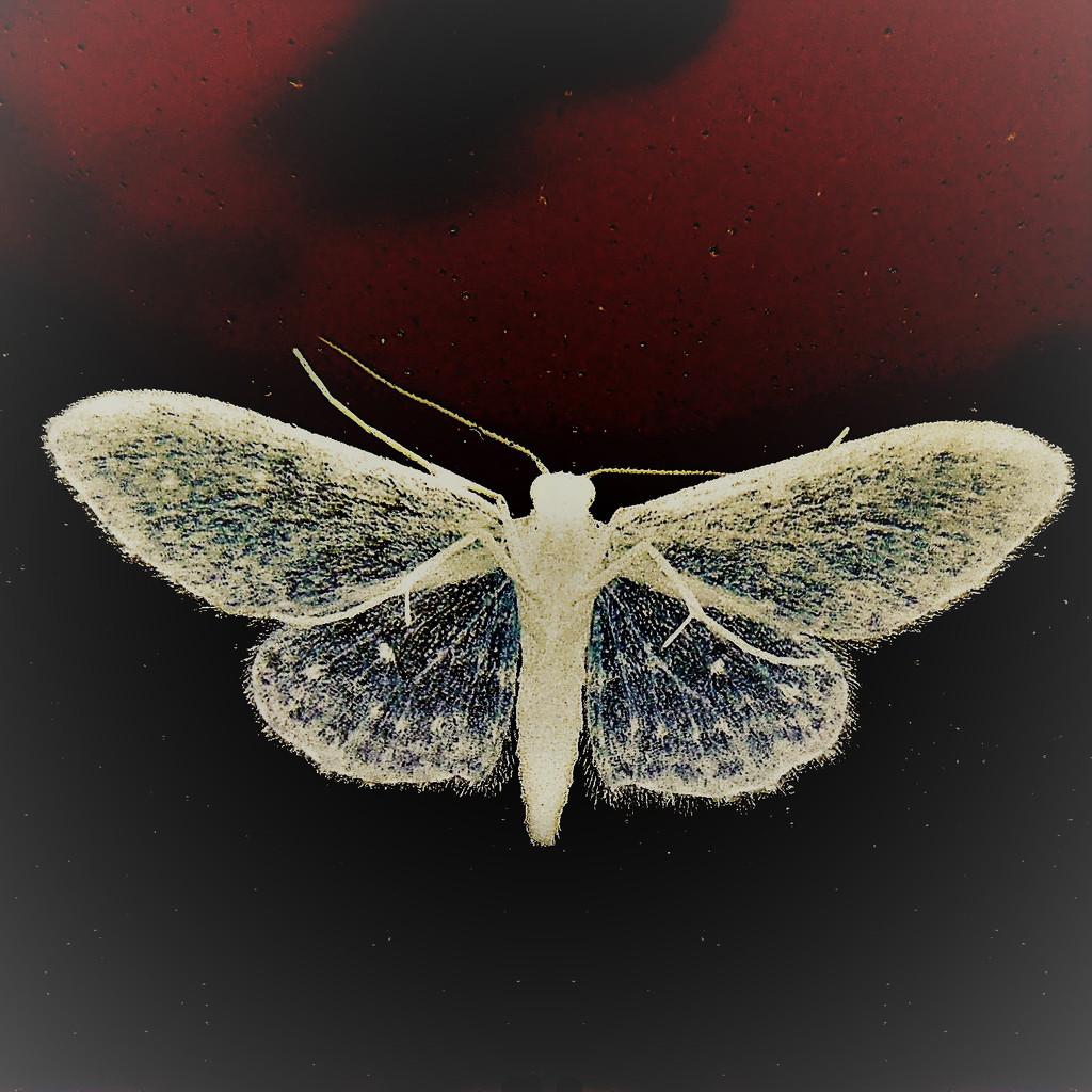 Stardust moth by etienne