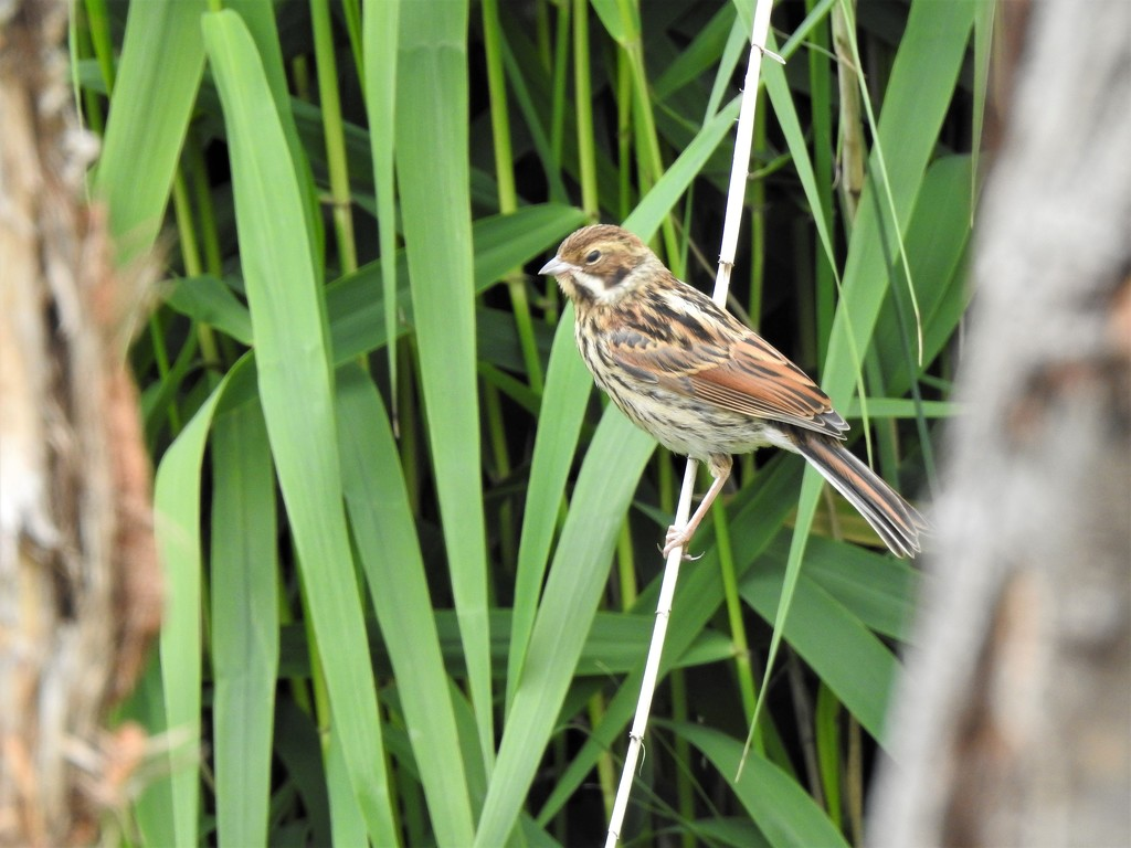 Mrs Reed Bunting by susiemc