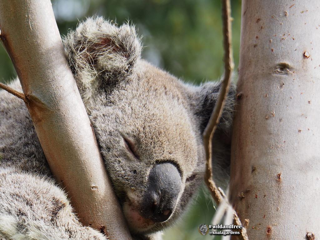 too busy sleeping by koalagardens
