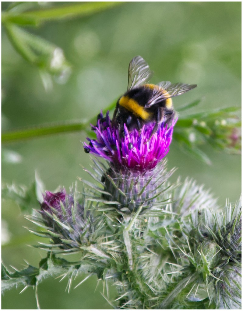Bee in a thistle by mave