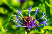 24th Jun 2019 - Mountain cornflower