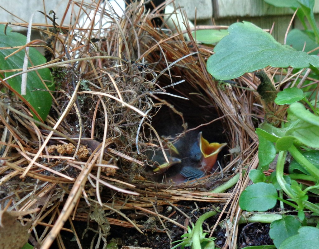 The  3 Carolina wren eggs have hatched. by sailingmusic