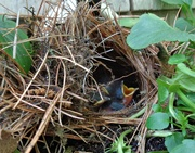24th Jun 2019 - The  3 Carolina wren eggs have hatched.