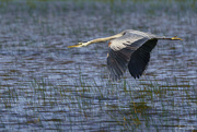25th Jun 2019 - Blue Heron Coming In for a Landing