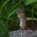 Portrait of a chipmunk