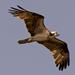 Osprey Fly By!