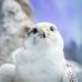 Arctic Falcon by rosiekerr