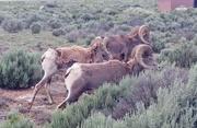 21st Jun 2019 - Bighorn Sheep