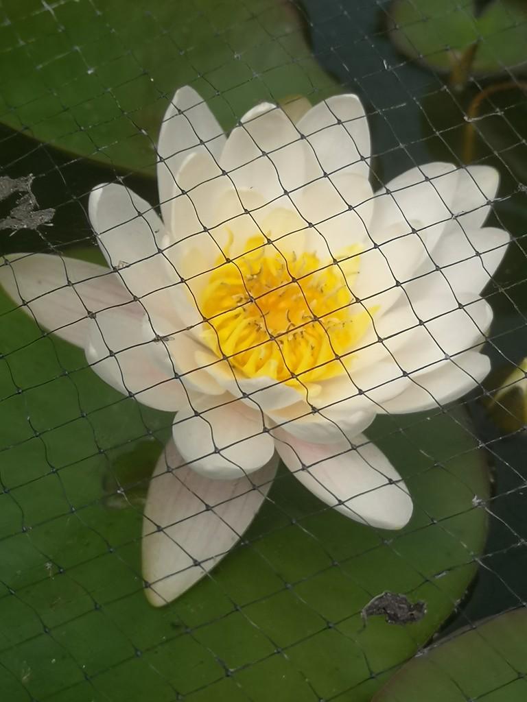 Water Lily  by plainjaneandnononsense