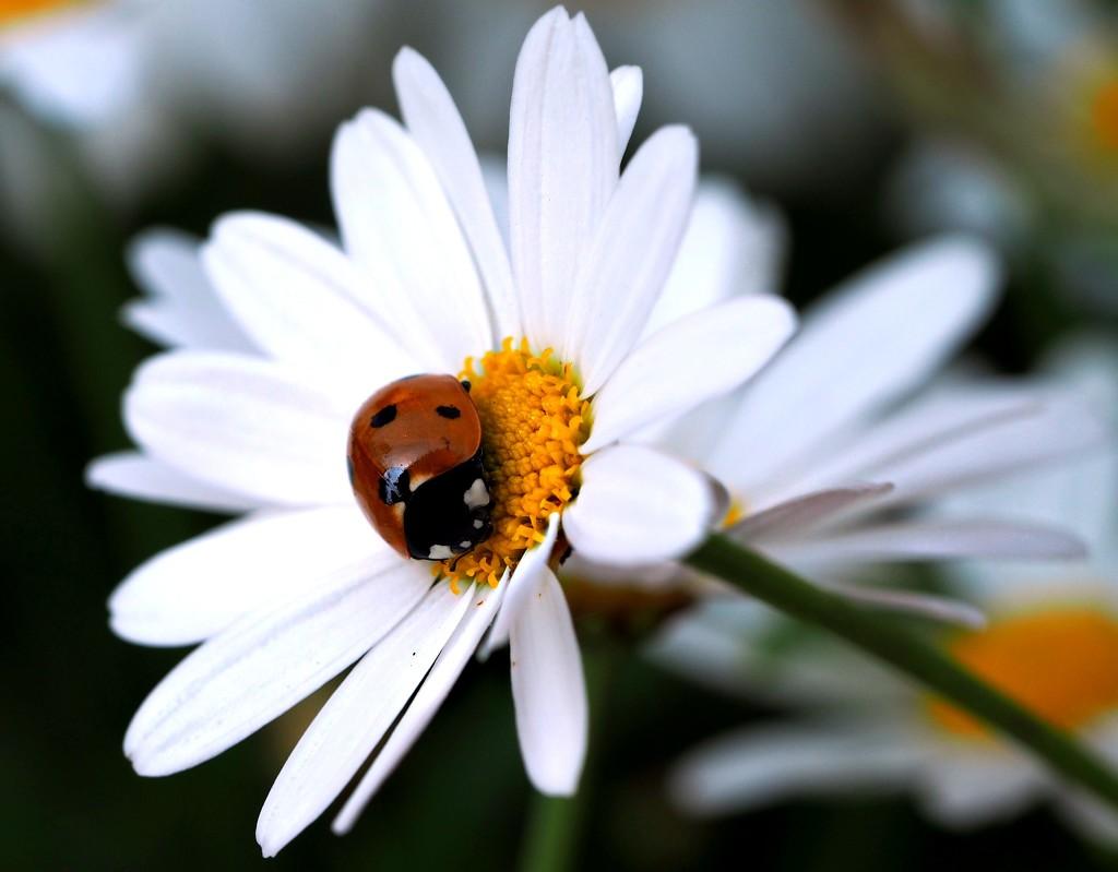 just a little ladybird on a daisy by janemartin