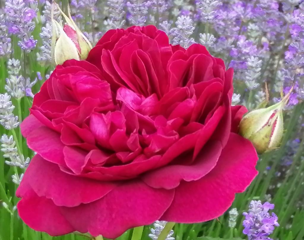 Rose time by flowerfairyann