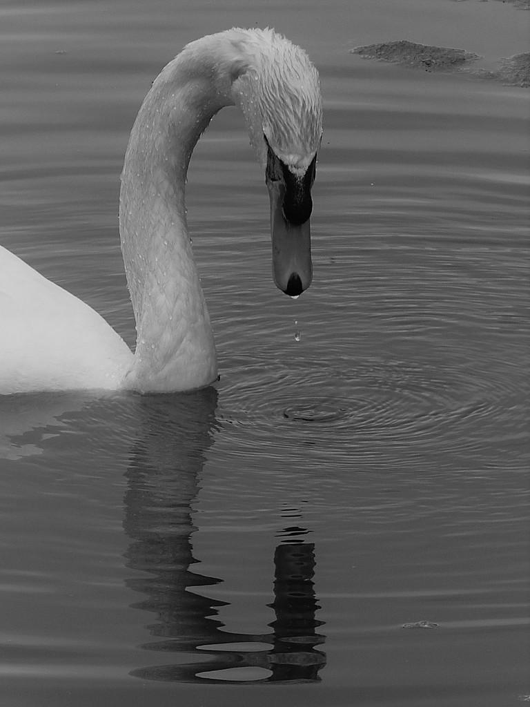 Dribbling Swan by 30pics4jackiesdiamond