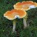 LHG_0008 Caesar`s Mushrooms