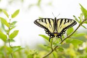 25th Jun 2019 - Yellow swallowtail butterfly!