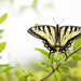 Yellow swallowtail butterfly!