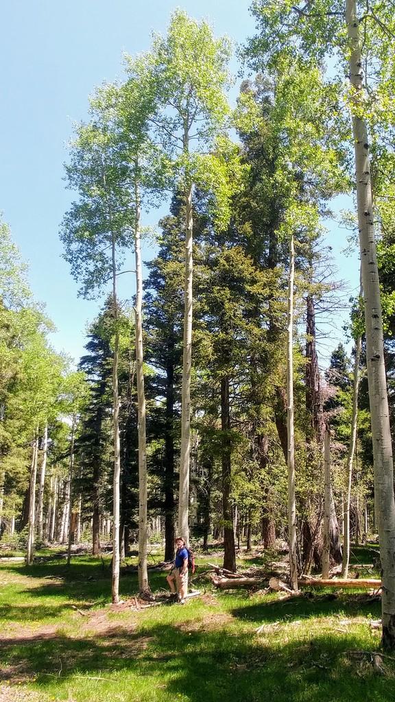 Very Tall Aspen Grove by harbie