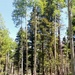 Very Tall Aspen Grove