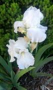 22nd Jun 2019 - Snowy White Iris'
