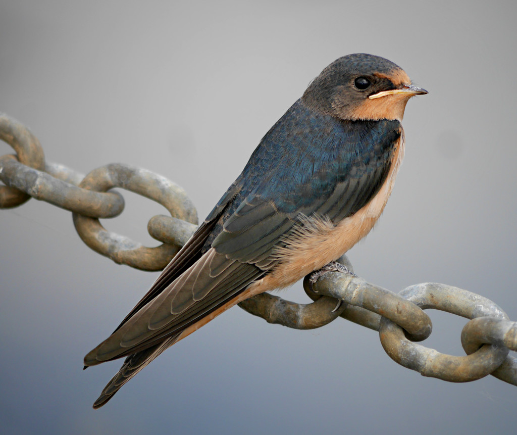 Barn Swallow by gq