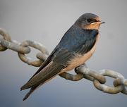21st Jun 2019 - Barn Swallow