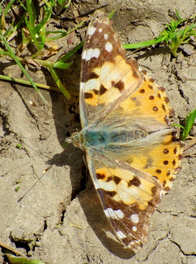 Painted Lady by fishers