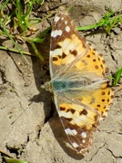 26th Jun 2019 - Painted Lady