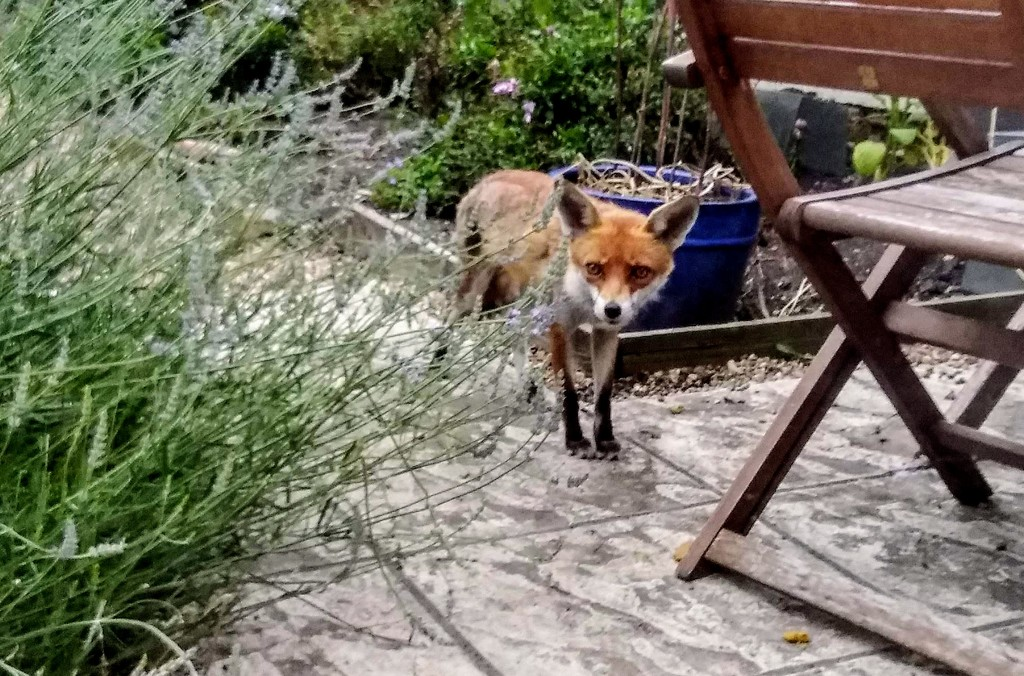 Foxy on the prowl by boxplayer