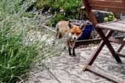 25th Jun 2019 - Foxy on the prowl