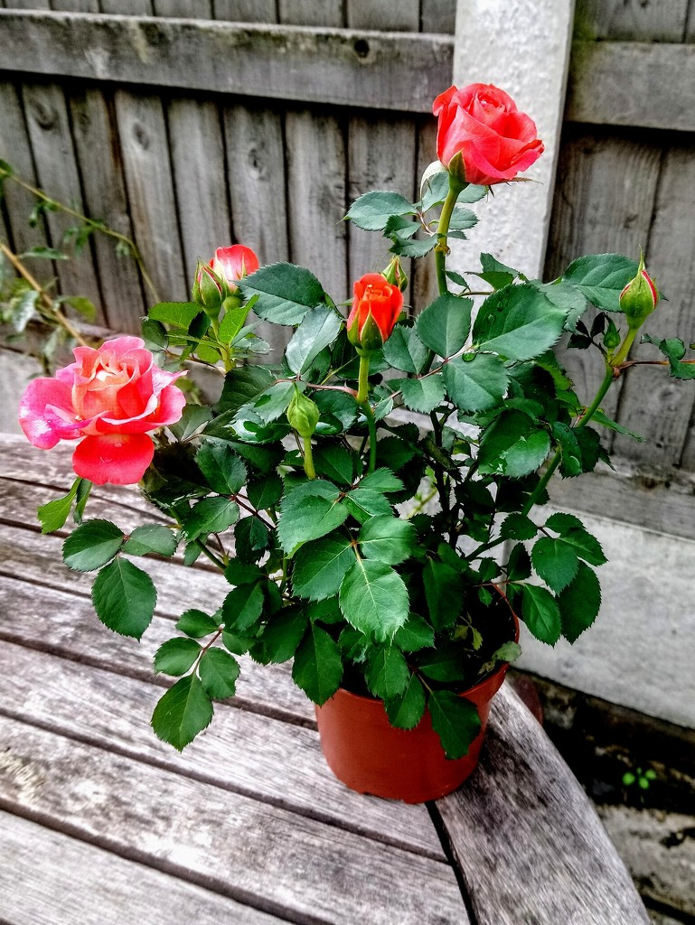 Rose pot by boxplayer