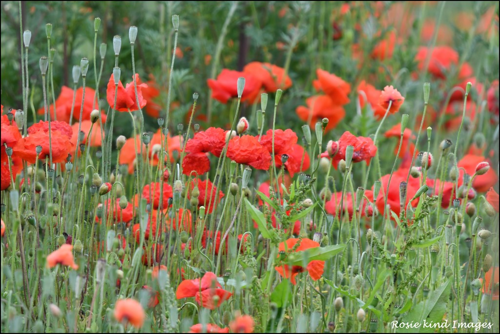 A field of poppies by rosiekind