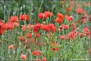 26th Jun 2019 - A field of poppies