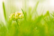 26th Jun 2019 - clover in the lawn