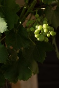 26th Jun 2019 - The grapes are growing