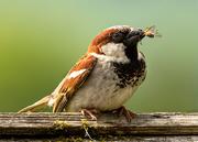 25th Jun 2019 - sparrow with dinner