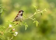 24th Jun 2019 - sparrow