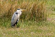 26th Jun 2019 - Heron on the Afon Mawddach estuary