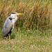 Heron on the Afon Mawddach estuary  by shepherdmanswife