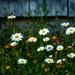 Wild flowers by novab