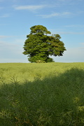 6th Jun 2019 - Tree