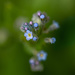 Don't forget the forget-me-not