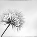 Giant Dandelion by fbailey